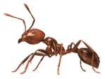 Ant Control Services from Clint Miller Exterminating